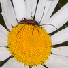 Black-striped Longhorn Beetle ♂, Stenurella melanura on Oxeye Daisy, Chrysanthemum leucanthemum  4752