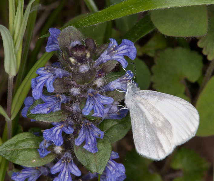 Wood White, Leptidea sinapis on Bugle, Ajuga reptans 0365