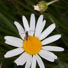 Black-striped Longhorn Beetle ♂, Stenurella melanura on Oxeye Daisy, Chrysanthemum leucanthemum  4750