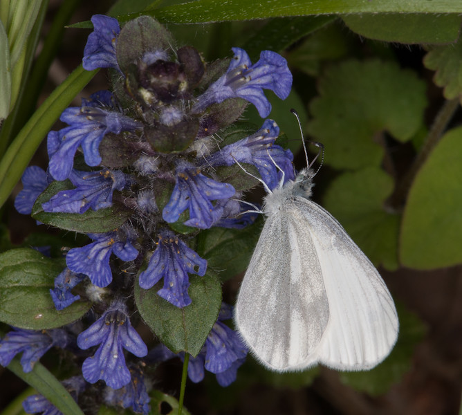 Wood White, Leptidea sinapis on Bugle, Ajuga reptans 0362