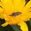 False blister beetles mating, Oedemera lurida 4778