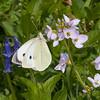 Large White ♀, Pieris brassicae 7970