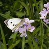 Large White ♀, Pieris brassicae 7959