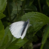 Green-veined White, Pieris napi 7978