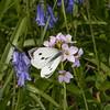 Large White ♀, Pieris brassicae 7963