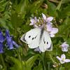 Large White ♀, Pieris brassicae 7971