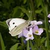 Large White ♀, Pieris brassicae 7961