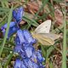 Small White ♀, Pieris rapae 7956