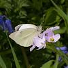 Large White ♀, Pieris brassicae 7960