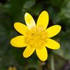 Lesser Celandine, Ranunculus ficaria 8031