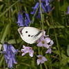 Large White ♀, Pieris brassicae 7964