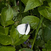 Green-veined White, Pieris napi 7976