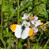 Orange-tip, Anthocharis cardamines 7953