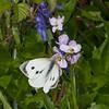Large White ♀, Pieris brassicae 7968