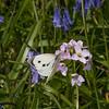 Large White ♀, Pieris brassicae 7962