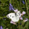 Large White ♀, Pieris brassicae 7966