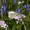 Large White ♀, Pieris brassicae 7965