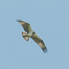 Osprey, Pandion haliaetus 4702
