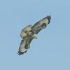 Buzzard, Buteo buteo 4696