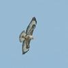 Buzzard, Buteo buteo 4699