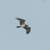Osprey, Pandion haliaetus 4461