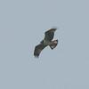Osprey, Pandion haliaetus 4448