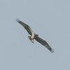 Osprey, Pandion haliaetus 4457