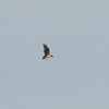 Osprey, Pandion haliaetus 4437