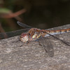 Common Darter ♀, Sympetrum striolatum 4411
