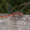 Common Darter ♂, Sympetrum striolatum 4420
