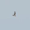Osprey, Pandion haliaetus 4443