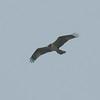Osprey, Pandion haliaetus 4449