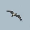 Osprey, Pandion haliaetus 4460