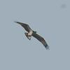 Osprey, Pandion haliaetus 4458