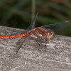 Common Darter ♂, Sympetrum striolatum 4423