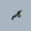 Osprey, Pandion haliaetus 4450