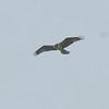 Osprey, Pandion haliaetus 4446