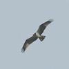 Osprey, Pandion haliaetus 4447