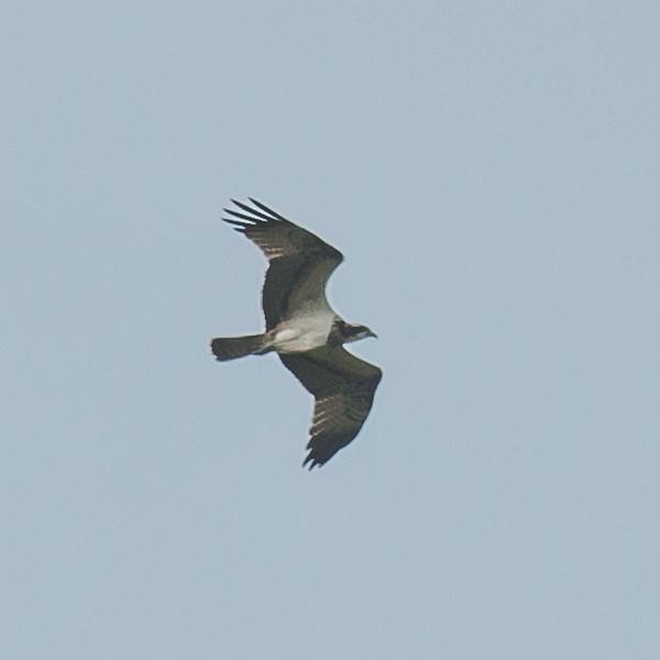 Osprey, Pandion haliaetus 4462