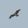 Osprey, Pandion haliaetus 4453