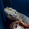 Bearded Dragon, Pogona vitticeps 790