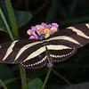 Heliconius charithonia, Zebra Longwing 1833