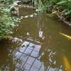 Goldfish, Carassius auratus auratus 165