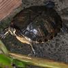 Turtle species noid 1825