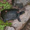 Turtle species noid 1924