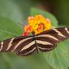 Heliconius charithonia, Zebra Longwing 2045