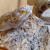 Bearded Dragon, Pogona vitticeps 528