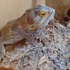 Bearded Dragon, Pogona vitticeps 694