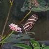 Heliconius charithonia, Zebra Longwing 2002