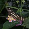 Heliconius charithonia, Zebra Longwing 1983